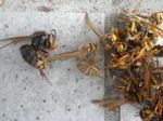 キイロスズメバチの鉄骨ハウスの巣にいた女王蜂(福島県田村市、2010年9月中旬).jpg