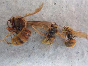 キイロスズメバチの6月上旬の女王蜂と働き蜂の比較 in 郡山市.jpg