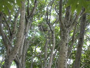 キロスズメバチの巣は、キンモクセイのどこにある?(郡山市、2010年9月中旬).jpg