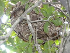 キロスズメバチの巣は、キンモクセイの枝葉を巧みに利用(郡山市、2010年9月中旬).jpg