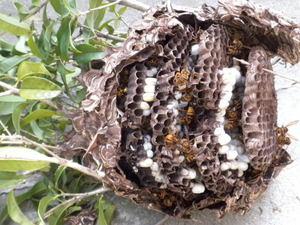 キロスズメバチの巣は、直径20cm、巣盤5段(郡山市、2010年9月中旬).jpg