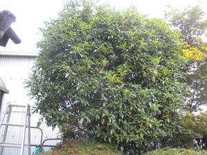 キロスズメバチの引っ越し巣はキンモクセイの樹内に(郡山市、2010年9月中旬).jpg