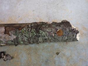 クマバチが巣を作った木の枝その1(郡山市).jpg