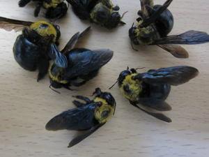 クマバチのメス成虫たち 郡山市、2012年.jpg