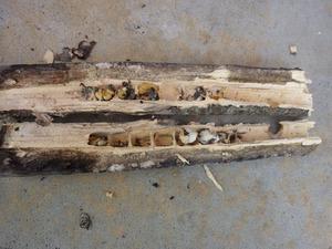 クマバチの巣があった木の枝その1の内部(郡山市).jpg