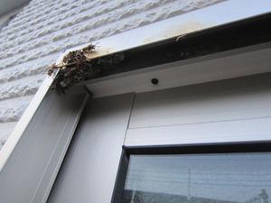 コアシナガバチの巣が窓枠の隅に 福島市、7月下旬