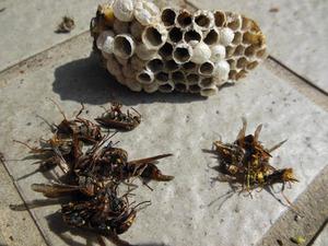 コアシナガバチの巣と成虫たち 郡山市、7月下旬