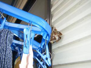 コアシナガバチの窓枠の巣と洗濯物用ハンガーは接触状態 郡山市、7月下旬