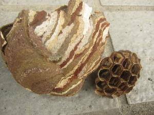 コガタスズメバチが再び作った巣の巣盤は1段 会津若松市、2012年.jpg