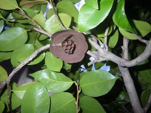 コガタスズメバチが生垣のツバキに作り始めたばかりの巣(郡山市、2015年5月13日).jpg