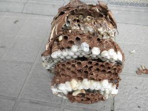 コガタスズメバチの壊れた巣は、直径17cm、巣盤4段(福島県伊達郡、2010年9月下旬).jpg