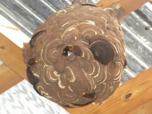 コガタスズメバチの天井の巣は直径18cm(福島県東白川郡、2010年9月中旬).jpg