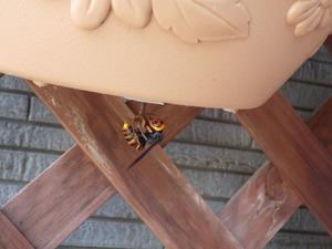 コガタスズメバチの女王蜂が植木鉢の底に作り始めている巣(伊達市).jpg