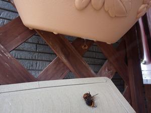 コガタスズメバチの女王蜂を粘着板で捕虫(伊達市).jpg