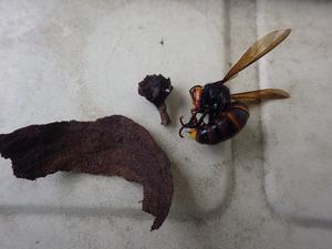 コガタスズメバチの女王蜂を駆除、巣を撤去(福島市).jpg