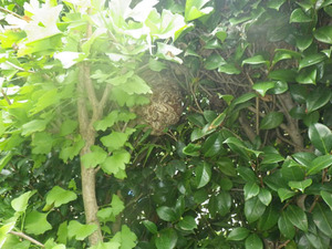 コガタスズメバチの巣があった現場(鏡石町、2013年10月15日).jpg