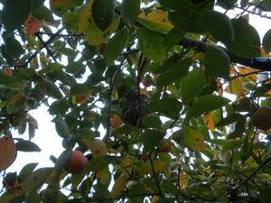 コガタスズメバチの巣がカキの木に(福島市、2010年10月中旬).jpg