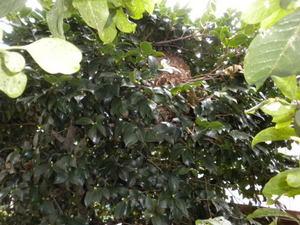 コガタスズメバチの巣がツバキの樹内に埋没して(郡山市、2010年9月中旬).jpg