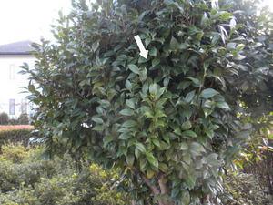 コガタスズメバチの巣がツバキ樹内に(福島県西白河郡、2010年10月上旬).jpg