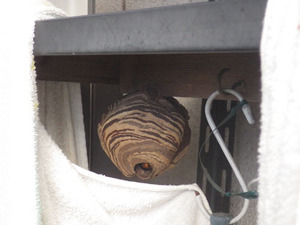 コガタスズメバチの巣が棚に(福島市、2016年7月3日).jpg