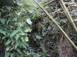 コガタスズメバチの巣が理想的な場所に(郡山市、2010年10月中旬).jpg
