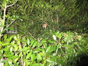 コガタスズメバチの巣が生垣に 郡山市、2012年.jpg
