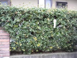 コガタスズメバチの巣が生垣の中に埋没(郡山市、2010年9月上旬).jpg