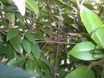 コガタスズメバチの巣が覗き込むと見えました(郡山市、2010年9月上旬).jpg
