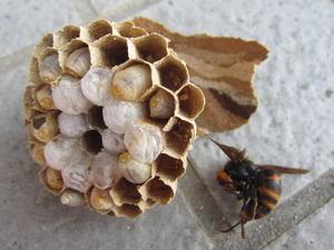 コガタスズメバチの巣の巣盤は1段 郡山市、2012年.jpg