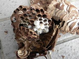 コガタスズメバチの巣の巣盤は2段(郡山市、2010年9月上旬).jpg