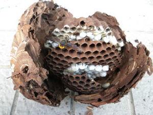 コガタスズメバチの巣は、直径18cm、巣盤3段(福島県東白川郡、2010年9月中旬).jpg