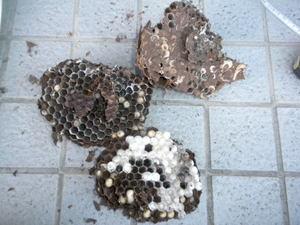 コガタスズメバチの巣は、直径20cm、巣盤3段(郡山市、2010年10月下旬).jpg