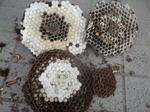 コガタスズメバチの巣は、直径20cm、巣盤4段(郡山市、2010年9月中旬).jpg