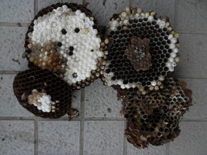 コガタスズメバチの巣は、直径23cm、巣盤4段(福島県伊達市、2010年10月上旬).jpg
