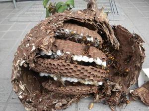 コガタスズメバチの巣は、直径26cm、巣盤4段(郡山市、2010年9月中旬).jpg