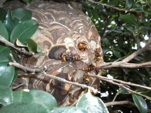 コガタスズメバチの巣はツバキに見事に隠れた直径26cm(郡山市、2010年9月中旬).jpg