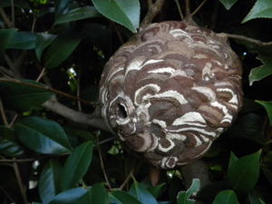 コガタスズメバチの巣はツバキ樹内の奥に(福島県西白河郡、2010年10月上旬).jpg