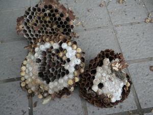 コガタスズメバチの巣は直径18cm、巣盤3段(福島市、2010年10月中旬).jpg