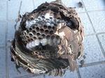 コガタスズメバチの巣は直径20cm、巣盤3段(郡山市、2010年9月上旬).jpg