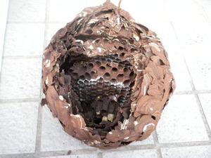 コガタスズメバチの巣は直径20cm、巣盤4段 福島市、11月上旬.jpg