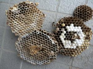 コガタスズメバチの巣は直径20cm、巣盤4段(郡山市、2010年10月中旬).jpg