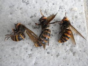 コガタスズメバチの巣内にいた成虫たち(郡山市、2010年9月中旬).jpg