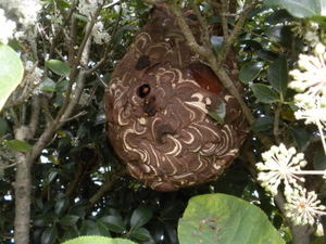 コガタスズメバチの直径23cmの巣(福島県伊達市、2010年10月上旬).jpg