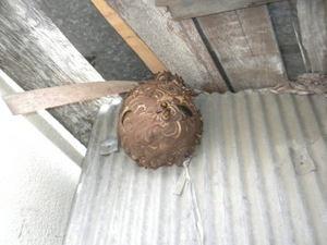 コガタスズメバチの軒下の巣は、直径20cm(郡山市、2010年10月下旬).jpg