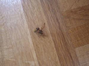 スズメバチが床に落ちている(福島市).jpg