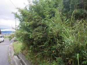 スズメバチに刺された現場- 道路沿いにある竹林にスズメバチが出入り(福島県桑折町).jpg