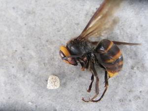 スズメバチの女王蜂が運んでいた巣材 郡山市、2012年.jpg