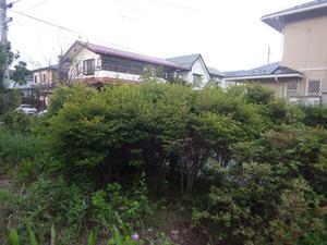 スズメバチの巣があった庭のドウダンツツジ(郡山市).jpg