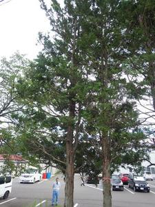 スズメバチの巣がある駐車場の高い木(福島県川俣町).jpg