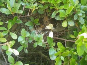 郡山市での蜂の巣駆除事例-生垣のサツキをせん定中、スズメバチに遭遇!